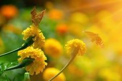Πεταλούδα μοναρχών marigold στο highkey Στοκ Φωτογραφίες