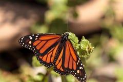Πεταλούδα μοναρχών, plexippus Danaus, σε έναν κήπο πεταλούδων Στοκ Φωτογραφίες