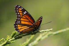 Πεταλούδα 3 μοναρχών - plexippus Danaus Στοκ Εικόνες
