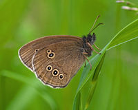 Πεταλούδα μπουκλών, hyperantus Aphantopus Στοκ φωτογραφία με δικαίωμα ελεύθερης χρήσης