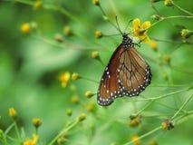 Πεταλούδα μυγών Στοκ φωτογραφίες με δικαίωμα ελεύθερης χρήσης