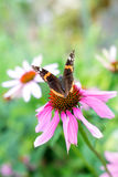 Πεταλούδα ναυάρχων Στοκ φωτογραφίες με δικαίωμα ελεύθερης χρήσης