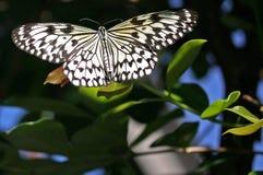 Πεταλούδα νυμφών δέντρων, ιδέα Leuconoe Στοκ Εικόνα
