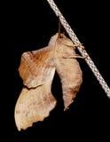 Πεταλούδα νύχτας στο μαύρο υπόβαθρο Στοκ φωτογραφία με δικαίωμα ελεύθερης χρήσης