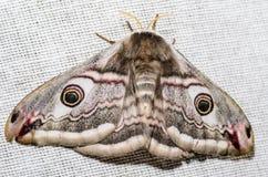 Πεταλούδα νύχτας peacock Στοκ Εικόνα