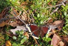 Πεταλούδα ομορφιάς antiopa Nymphalis Στοκ Εικόνα