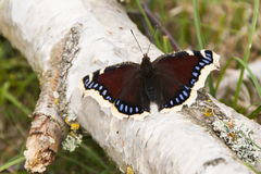 Πεταλούδα ομορφιάς Camberwell, antiopa Nymphalis Στοκ Φωτογραφίες