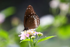 Πεταλούδα - ο κοινός κόρακας Στοκ φωτογραφία με δικαίωμα ελεύθερης χρήσης