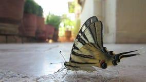 Πεταλούδα που έχει μια σιέστα 1 απόθεμα βίντεο