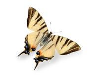 Πεταλούδα που απομονώνεται κίτρινη στο λευκό Στοκ Φωτογραφία