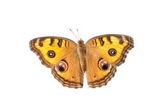 Πεταλούδα που απομονώνεται Στοκ Εικόνες