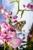 Πεταλούδα που επικονιάζει τα ρόδινα ανθίζοντας λουλούδια της αμπέλου στεφανιών μιας βασίλισσας Στοκ Εικόνες