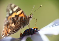Πεταλούδα που επικονιάζει τη Daisy Στοκ Φωτογραφίες