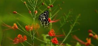 πεταλούδα που επισημαίν&e Στοκ Φωτογραφίες