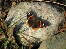 Πεταλούδα που λιάζεται σε έναν βράχο Στοκ Εικόνα