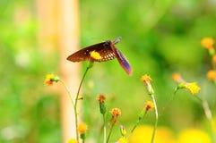 Πεταλούδα που πετά στην απορρόφηση του νέκταρ Στοκ Εικόνες