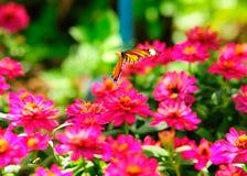 Πεταλούδα που πετά στην απορρόφηση του νέκταρ Στοκ φωτογραφία με δικαίωμα ελεύθερης χρήσης