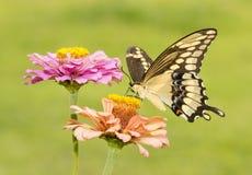 πεταλούδα που πετά τα γιγαντιαία thoras heraclides swallowtail προς underside την εμφάνιση Στοκ φωτογραφία με δικαίωμα ελεύθερης χρήσης