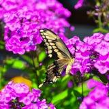 πεταλούδα που πετά τα γιγαντιαία thoras heraclides swallowtail προς underside την εμφάνιση Στοκ Εικόνα
