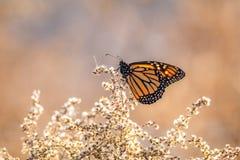 Πεταλούδα που σκαρφαλώνει στα ξηρά λουλούδια Στοκ Εικόνες
