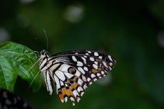 Πεταλούδα που σκαρφαλώνει στο φύλλο Στοκ εικόνες με δικαίωμα ελεύθερης χρήσης