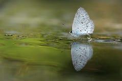 Πεταλούδα που σταματούν στο υγρό υπόγειο νερό Στοκ Εικόνες