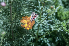 Πεταλούδα που στηρίζεται σε ένα μόνο κίτρινο λουλούδι Στοκ εικόνες με δικαίωμα ελεύθερης χρήσης