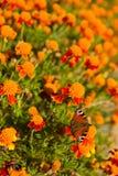 Πεταλούδα που συλλέγει το νέκταρ Στοκ φωτογραφία με δικαίωμα ελεύθερης χρήσης