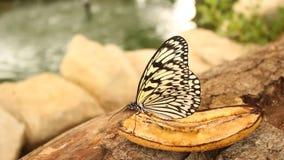 Πεταλούδα που τρώει μια μπανάνα απόθεμα βίντεο