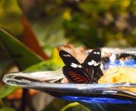 Πεταλούδα που τρώει τον καρπό Στοκ Εικόνες