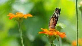 Πεταλούδα που τρώει το λουλούδι γύρης απόθεμα βίντεο