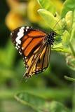 Πεταλούδα - σαφής τίγρη Στοκ Φωτογραφία