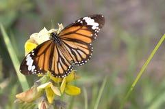 Πεταλούδα - σαφής τίγρη Στοκ Εικόνα