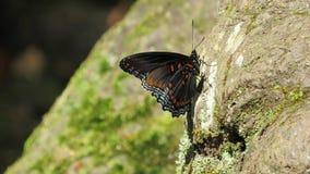 Πεταλούδα σε έναν βράχο Στοκ Φωτογραφία