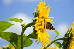 Πεταλούδα σε έναν ηλίανθο Στοκ φωτογραφία με δικαίωμα ελεύθερης χρήσης