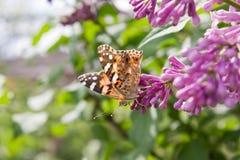 Πεταλούδα σε έναν κλάδο της πασχαλιάς Στοκ φωτογραφία με δικαίωμα ελεύθερης χρήσης