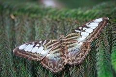Πεταλούδα σε ένα δέντρο πεύκων Στοκ εικόνα με δικαίωμα ελεύθερης χρήσης