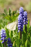 Πεταλούδα σε ένα λουλούδι. Στοκ εικόνα με δικαίωμα ελεύθερης χρήσης