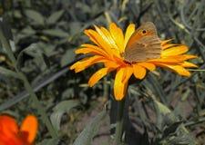 Πεταλούδα σε ένα λουλούδι Στοκ εικόνα με δικαίωμα ελεύθερης χρήσης