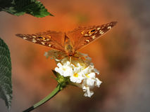 Πεταλούδα σε ένα λουλούδι Στοκ φωτογραφία με δικαίωμα ελεύθερης χρήσης