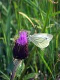Πεταλούδα σε ένα λουλούδι Στοκ Εικόνες