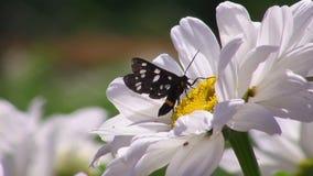 Πεταλούδα σε ένα λουλούδι απόθεμα βίντεο