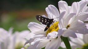 Πεταλούδα σε ένα λουλούδι φιλμ μικρού μήκους