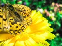 Πεταλούδα σε ένα λουλούδι Στοκ Φωτογραφίες