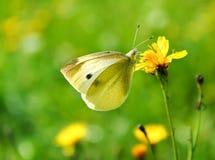 Πεταλούδα σε ένα πράσινο λιβάδι άνοιξη στοκ φωτογραφίες με δικαίωμα ελεύθερης χρήσης