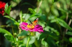 Πεταλούδα σε ένα ρόδινο λουλούδι Στοκ φωτογραφία με δικαίωμα ελεύθερης χρήσης