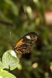 Πεταλούδα σε ένα φύλλο Στοκ Φωτογραφίες