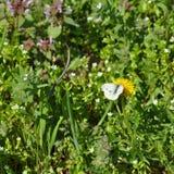 Πεταλούδα σε μια πικραλίδα Στοκ Φωτογραφία