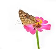 Πεταλούδα σκαρφαλωμένη Στοκ Εικόνα