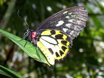 πεταλούδα σπάνια Στοκ Εικόνα